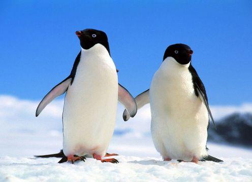 Pinguino de Adelaida