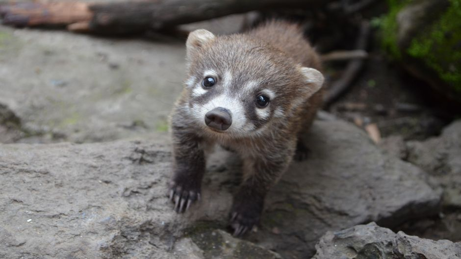 Coati, Guia de Fauna. RutaChile