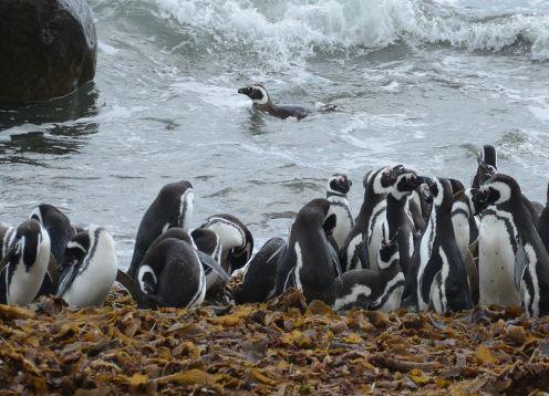 PINGUINERAS DEL SENO OTWAY. ,