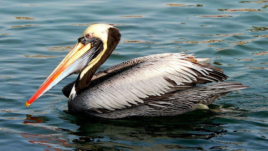 Pel cano peruano guia de fauna rutachile aves en peru - Fotos de pelicanos ...