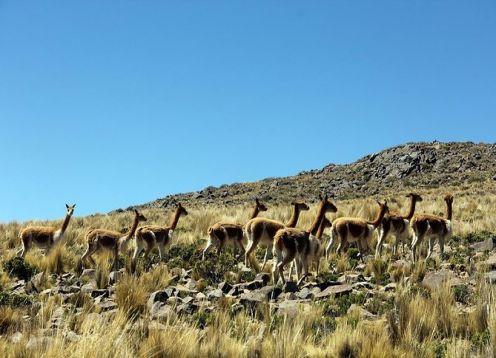 Half day excursion through the Pampa Galeras Reserve from Nazca. Nazca, PERU