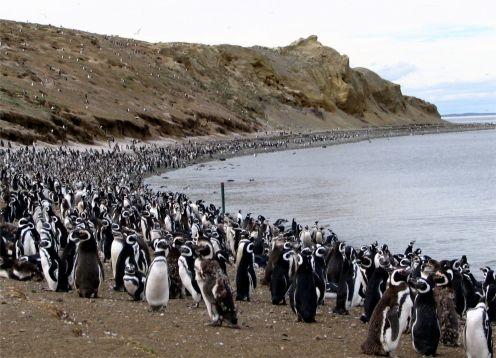 MAGDALENA ISLAND PENGUIN COLONY. Punta Arenas, CHILE
